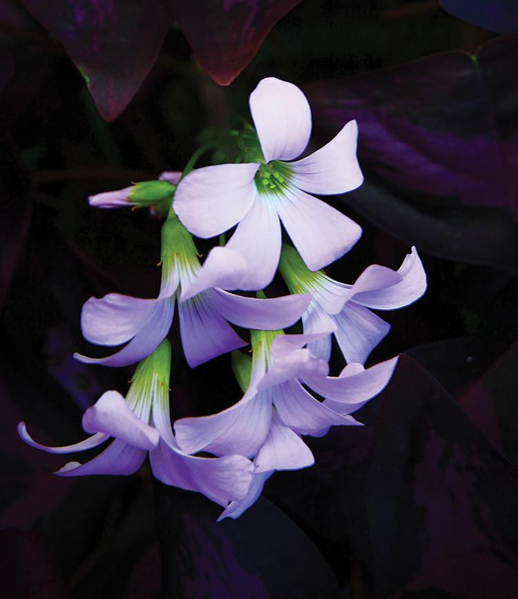 Oxalis (purple shamrock)